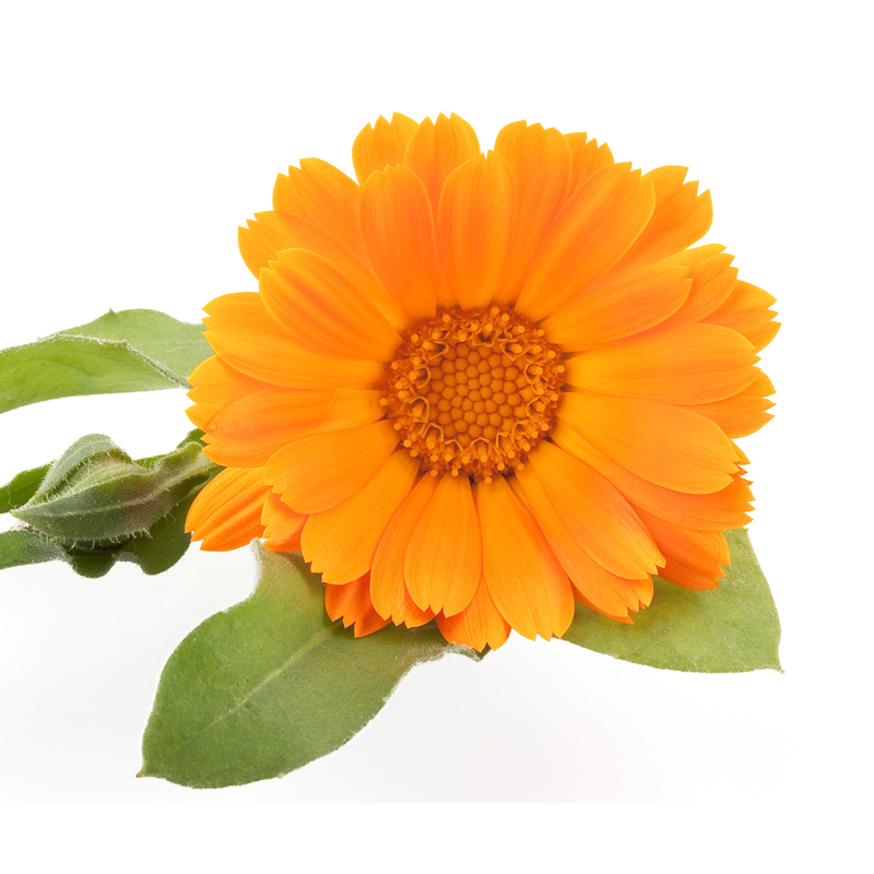 ingredient_calendula